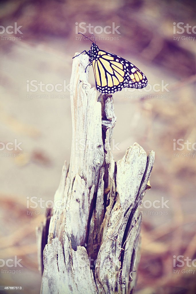 Monarch Butterfly Resting royalty-free stock photo