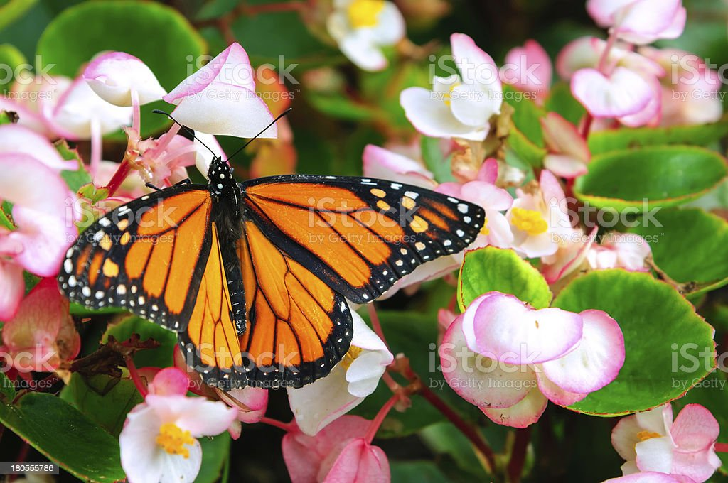 Monarch butterfly sitting on the flower royalty-free stock photo