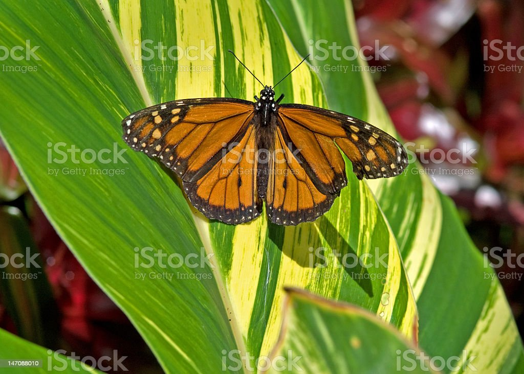 Monarch Butterfly with a Broken Wing royalty-free stock photo