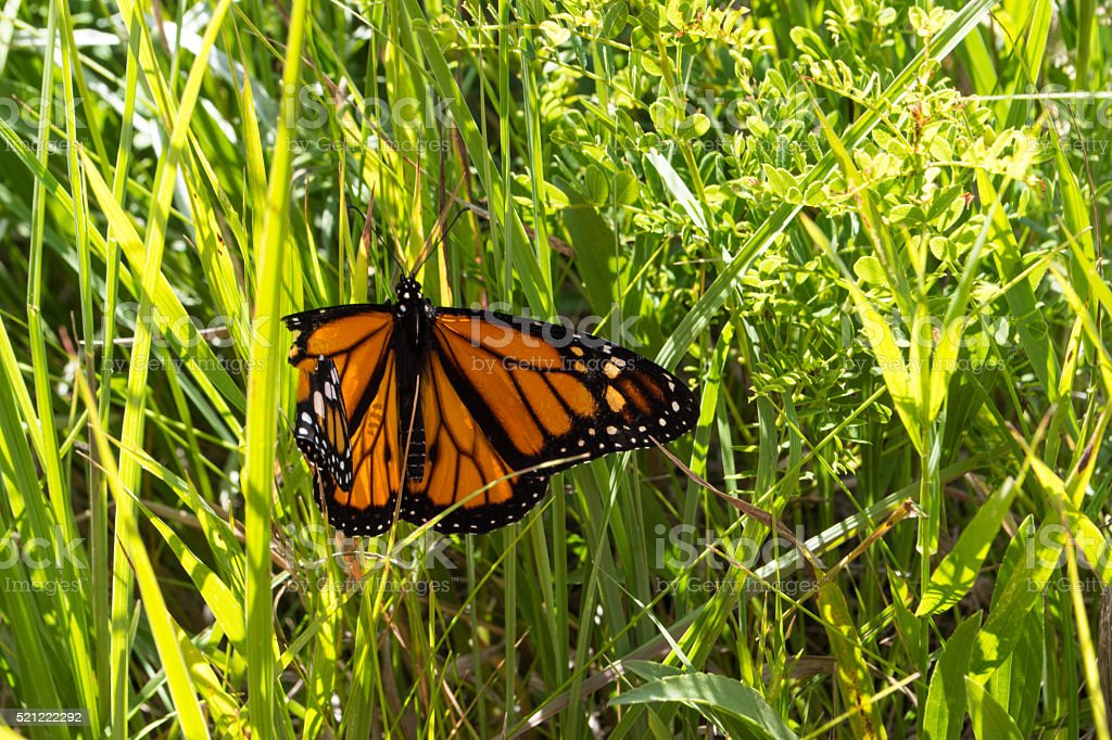 Monarch butterfly with broken wing stock photo