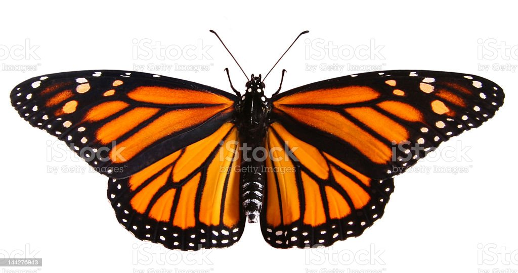 Monarch butterfly with clipping path stock photo