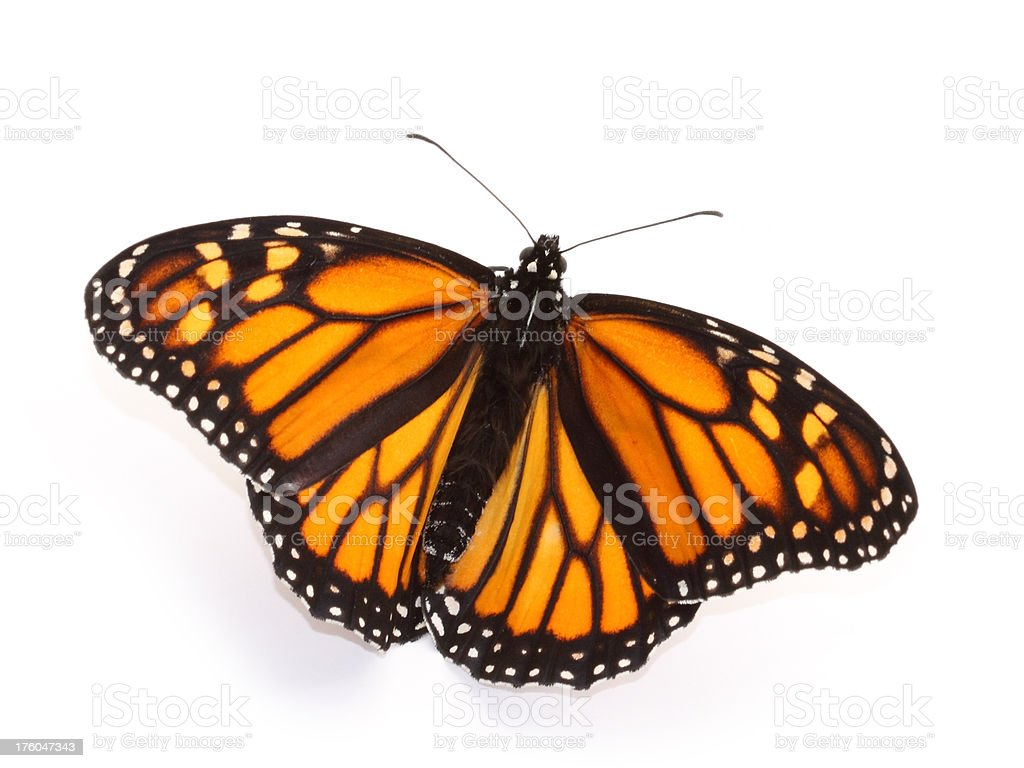 Monarch butterfly with open wings royalty-free stock photo