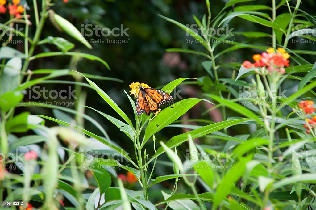 Monarch Butterfy stock photo