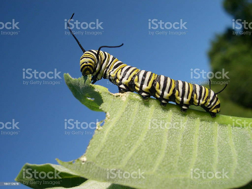 A monarch caterpillar eating a large leaf royalty-free stock photo