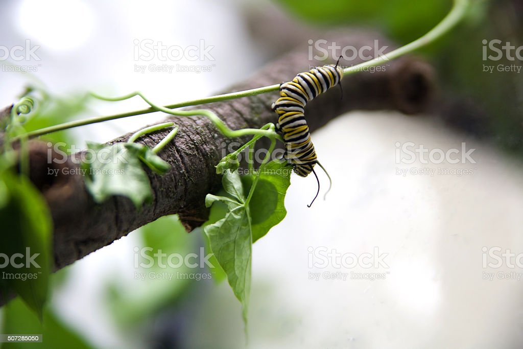 Monarch Caterpillar (larva) eating milkweed stock photo