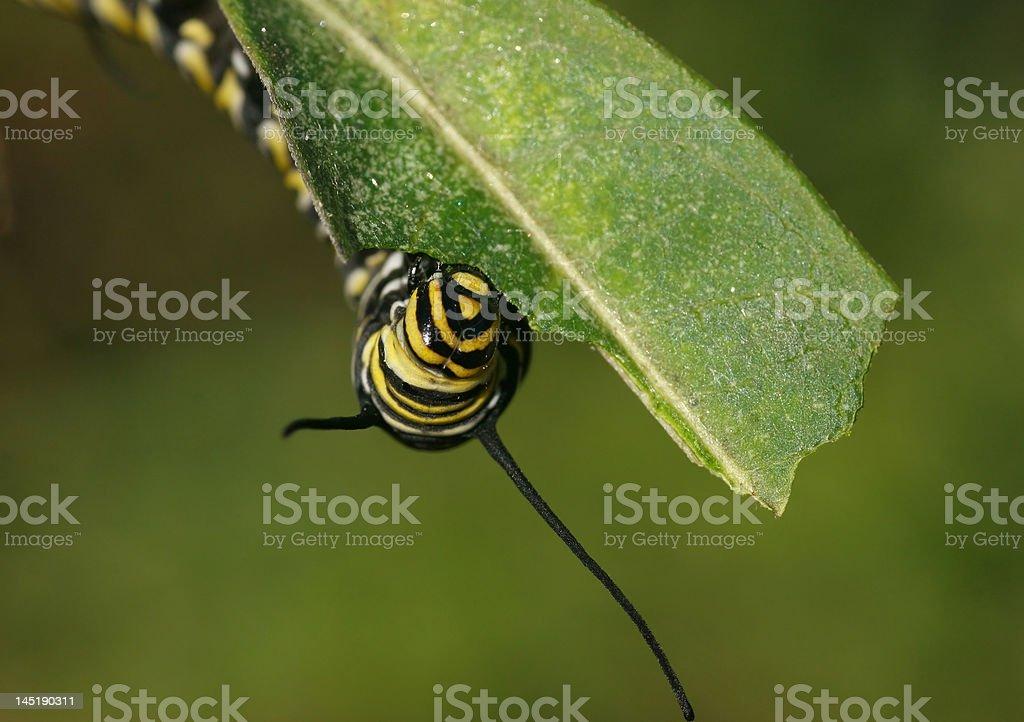 Monarca caterpillar comer foto de stock libre de derechos