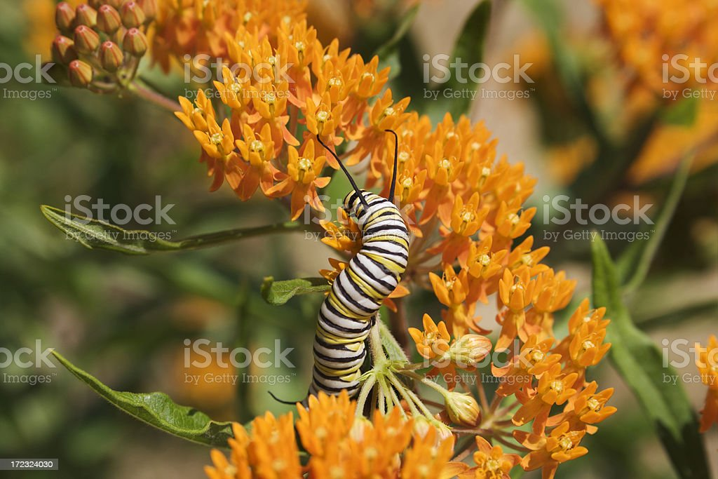 Monarch Caterpillar in the Sun stock photo