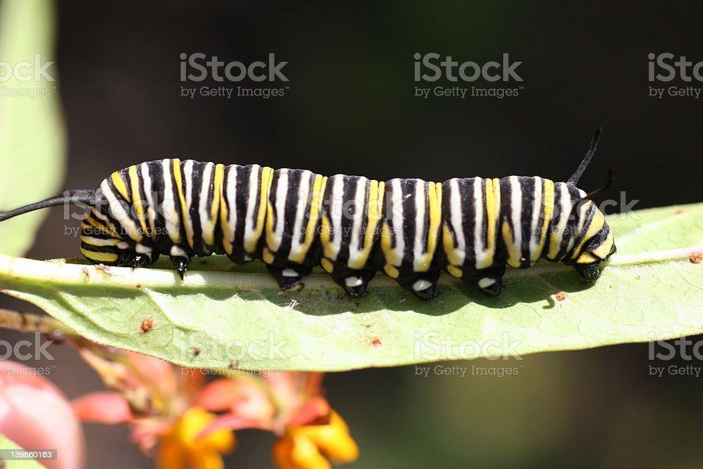 Oruga monarca en hoja foto de stock libre de derechos