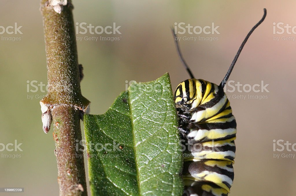 Monarch Caterpillar on Leaf royalty-free stock photo