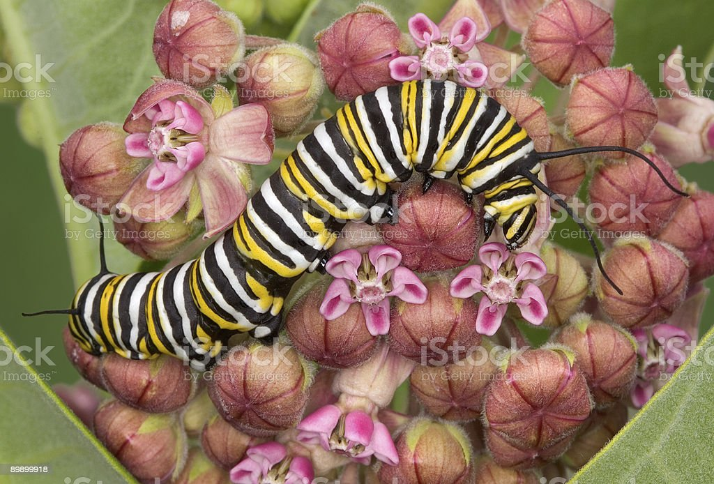 Monarch caterpillar on milkweed 8 stock photo
