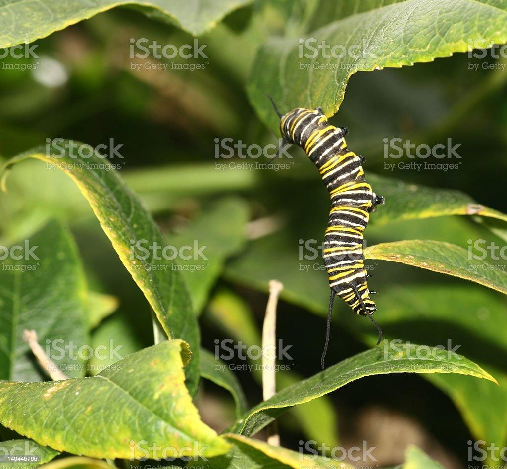 Oruga monarca foto de stock libre de derechos