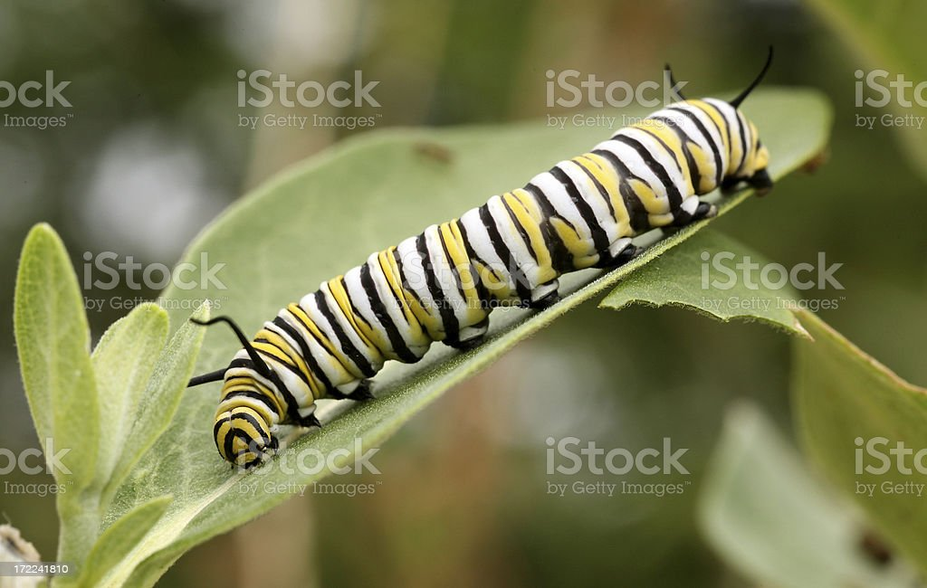 Monarch Caterpillar royalty-free stock photo