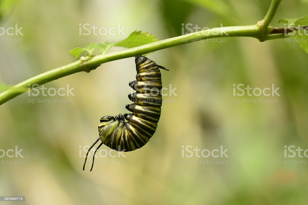 Monarch caterpillar preparing for chrysalis formation stock photo