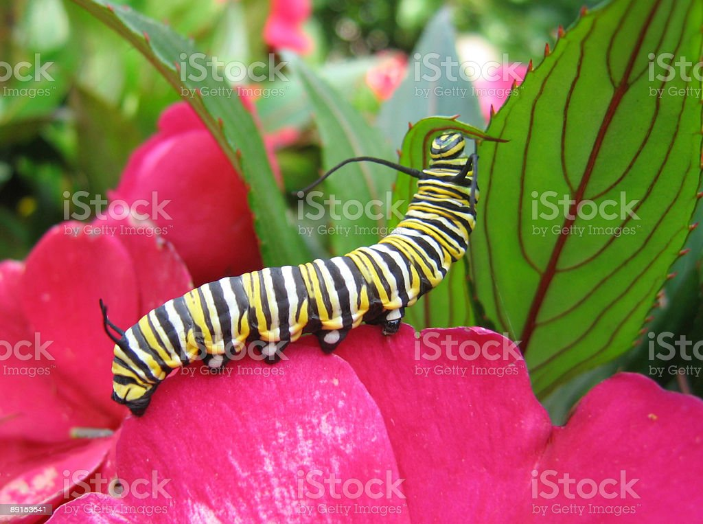 Monarch caterpillar resting on pink flower and green leaf stock photo