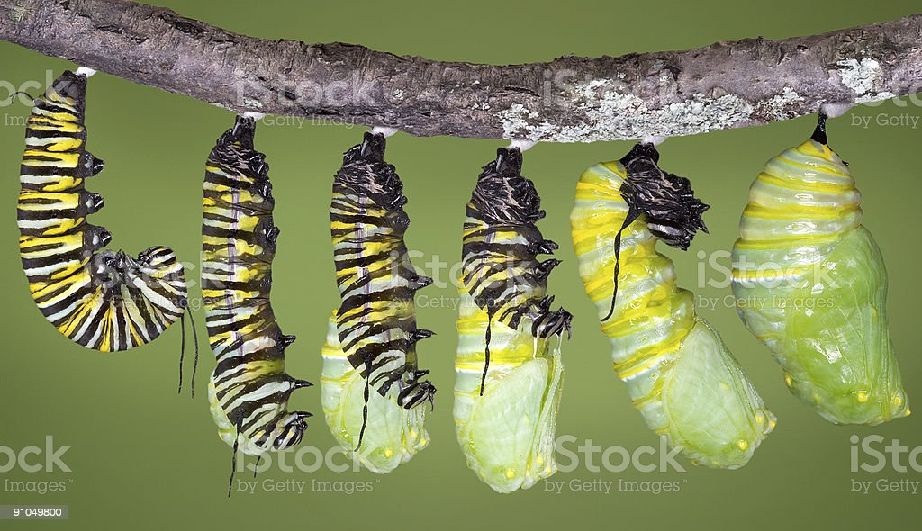 Monarch caterpillar shedding until it becomes a chrysalis stock photo