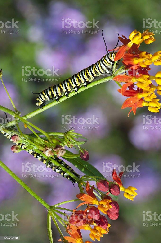 Monarch Caterpillars stock photo