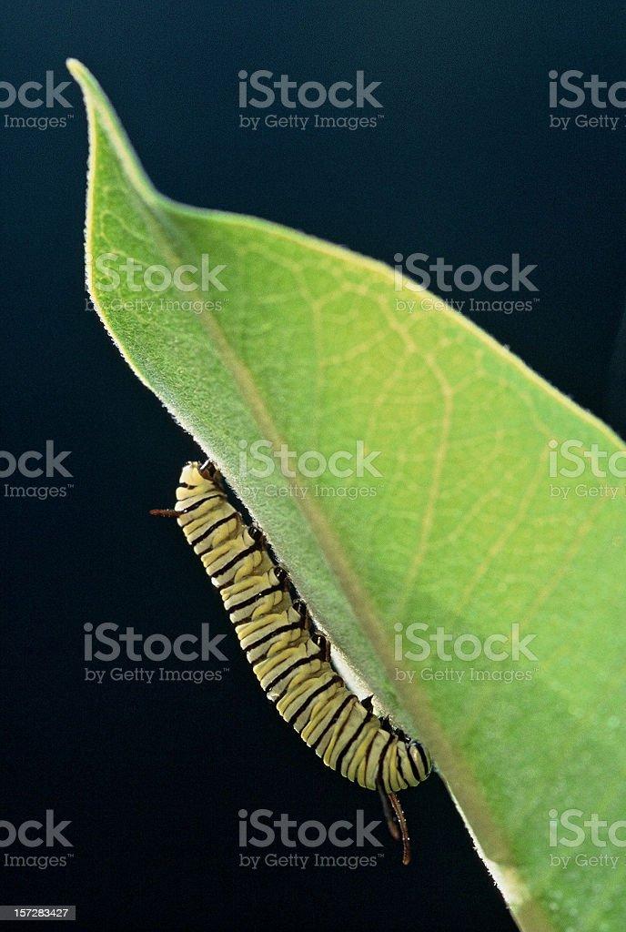 Monarch catipillar stock photo