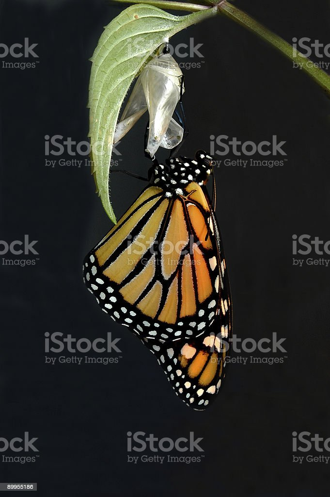 Monarch Emerges stock photo