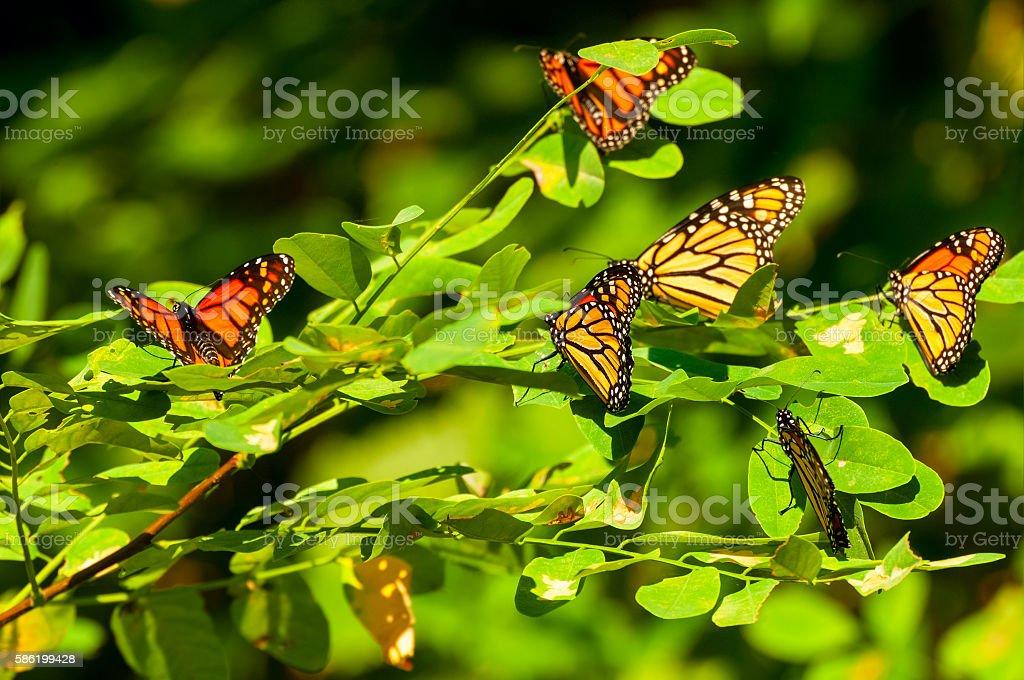 Monarch gathering stock photo