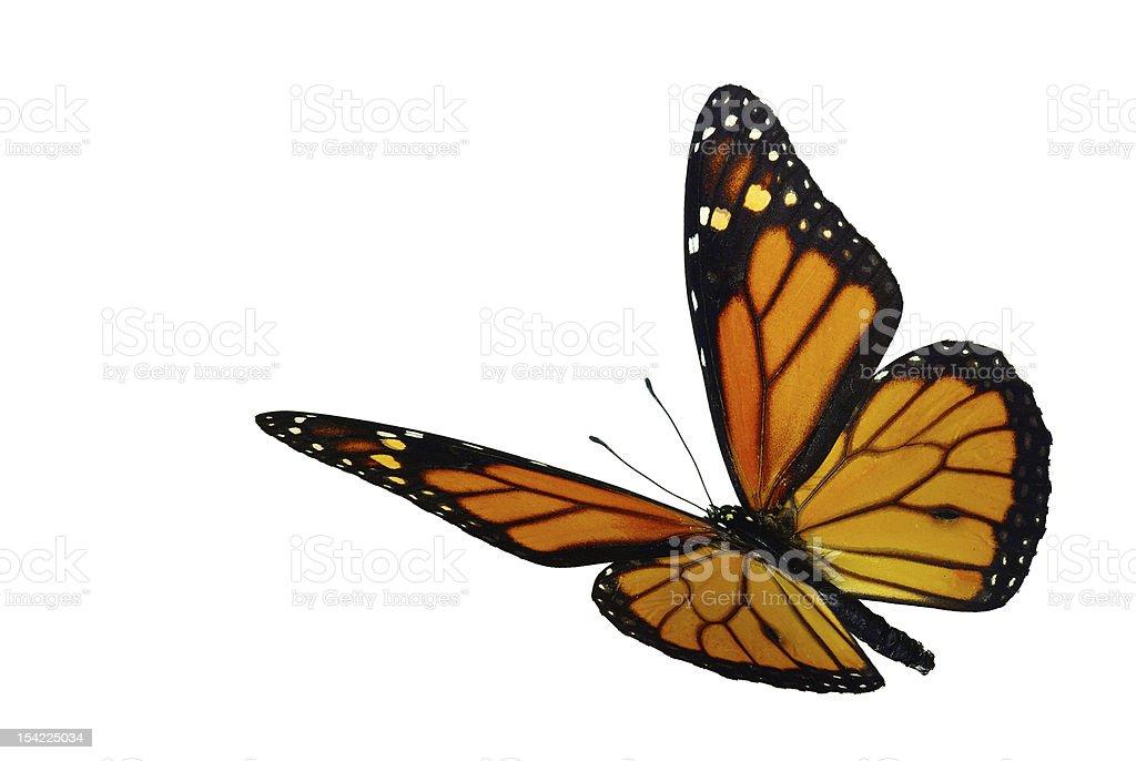 Monarch (Danaus plexippus) in flight stock photo