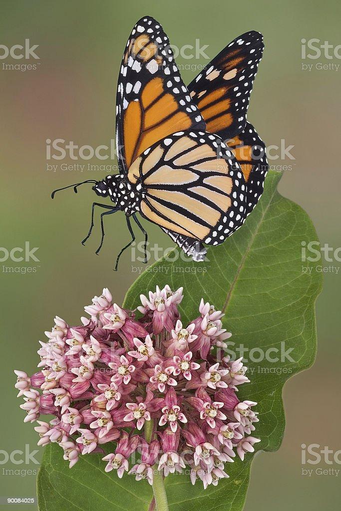 Monarch landing on milkweed flower stock photo