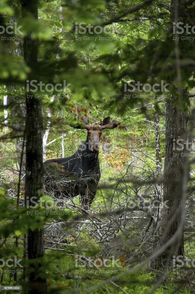 Monarch of the North Woods stock photo