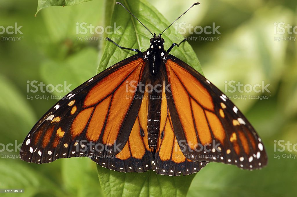 Monarch on a Green Leaf royalty-free stock photo