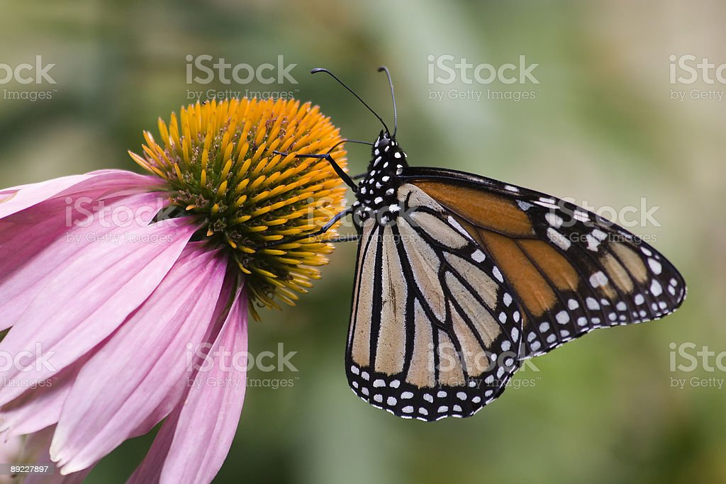 Monarch on Cone Flower royalty-free stock photo