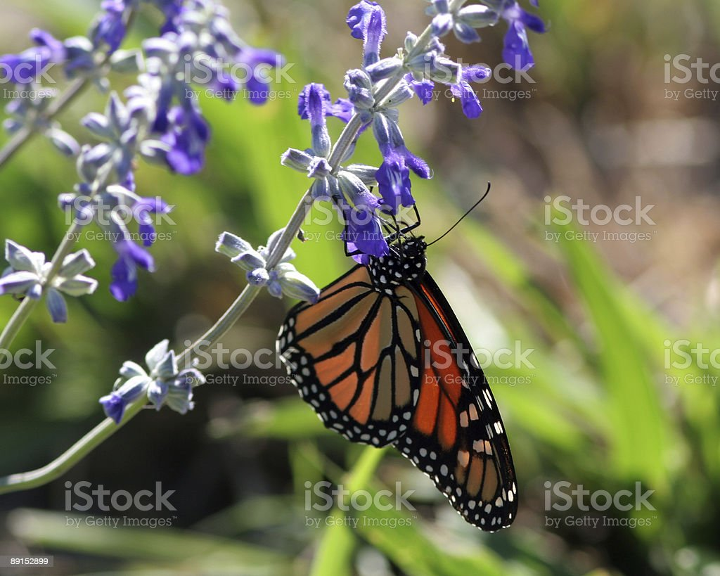 Monarch on Flower royalty-free stock photo