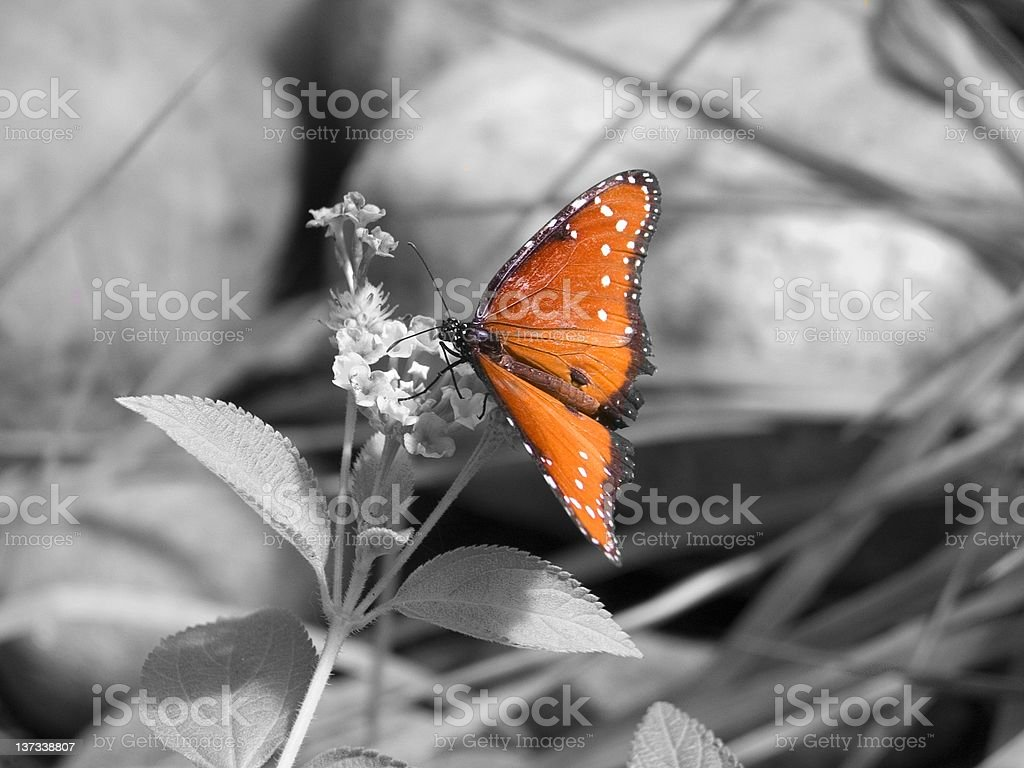 Monarch on Grey royalty-free stock photo