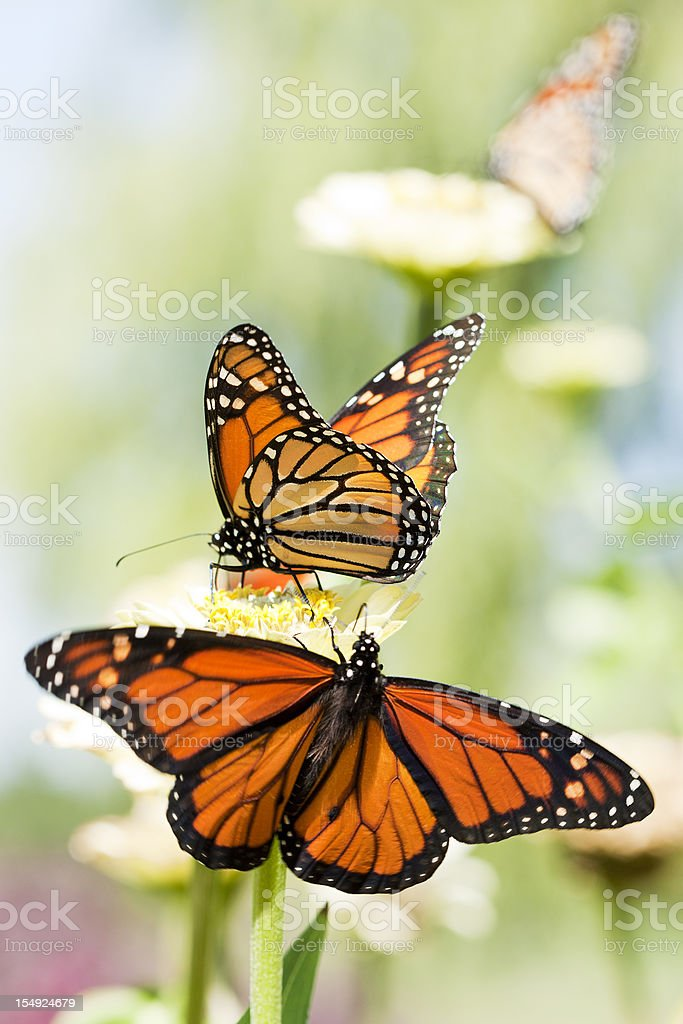 Monarch Trio royalty-free stock photo