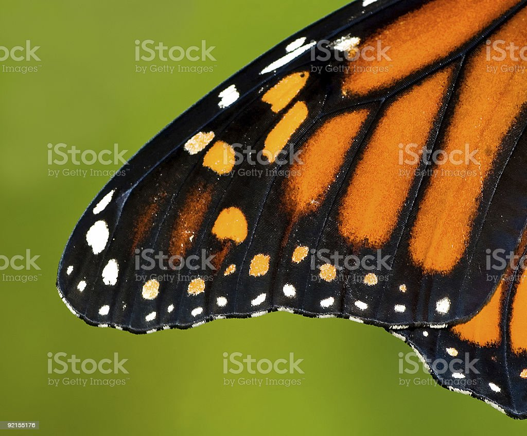 Monarch Wing royalty-free stock photo