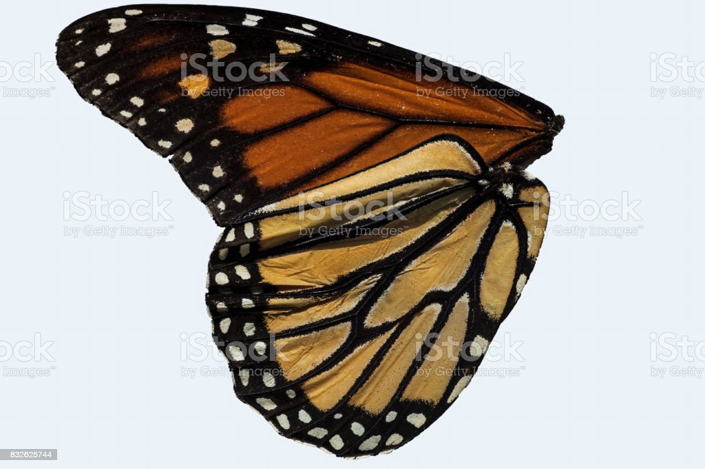 Monarch Wings stock photo