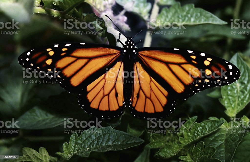 Monarch with clipping path royalty-free stock photo