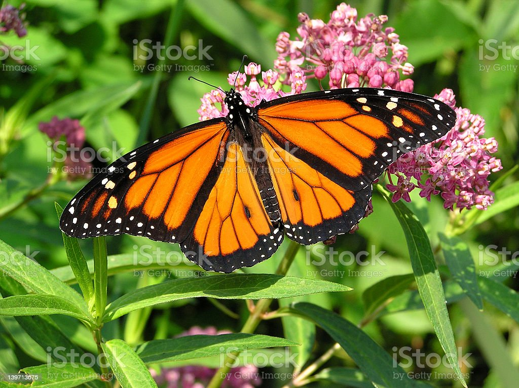 Monarch-7 royalty-free stock photo