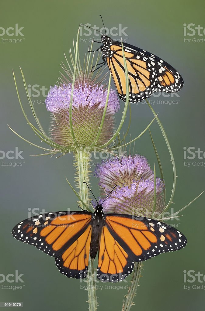 Monarchs on teasel royalty-free stock photo
