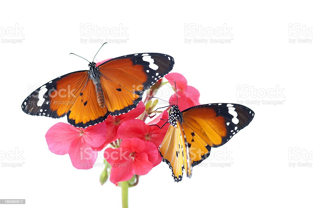 Monarch's royalty-free stock photo