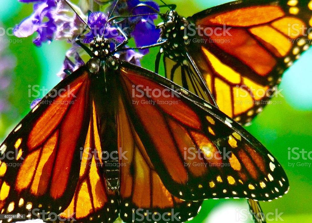 Monarchs stock photo