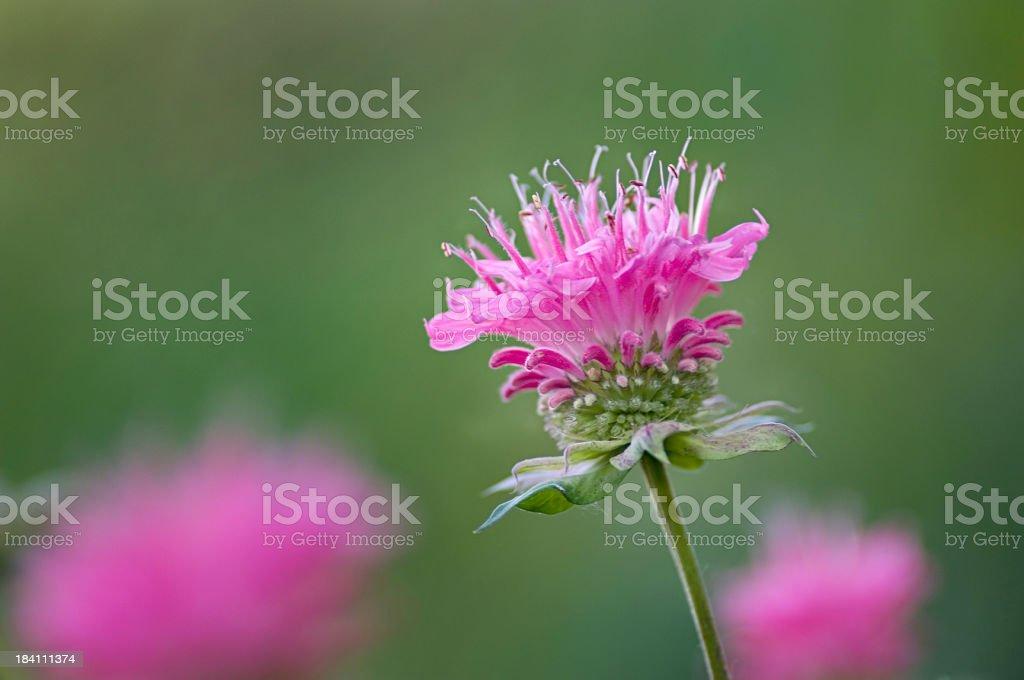 Monarda didyma, Bee Balm flower stock photo