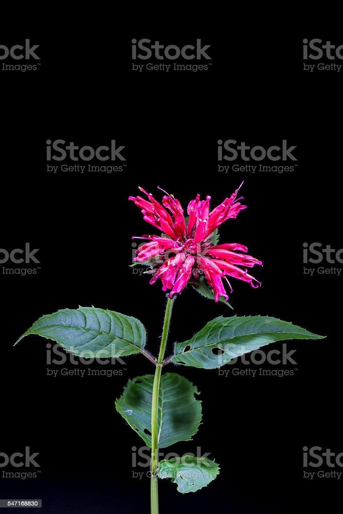 monarda didyma flower stock photo