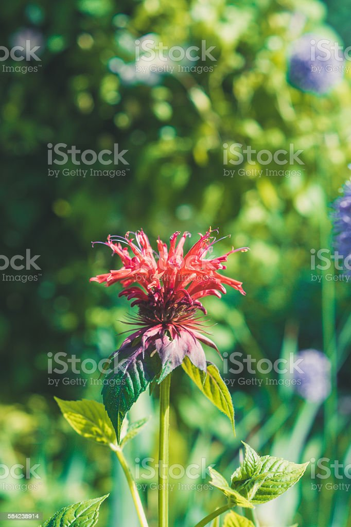 Monarda didyma (Scarlet beebalm) stock photo