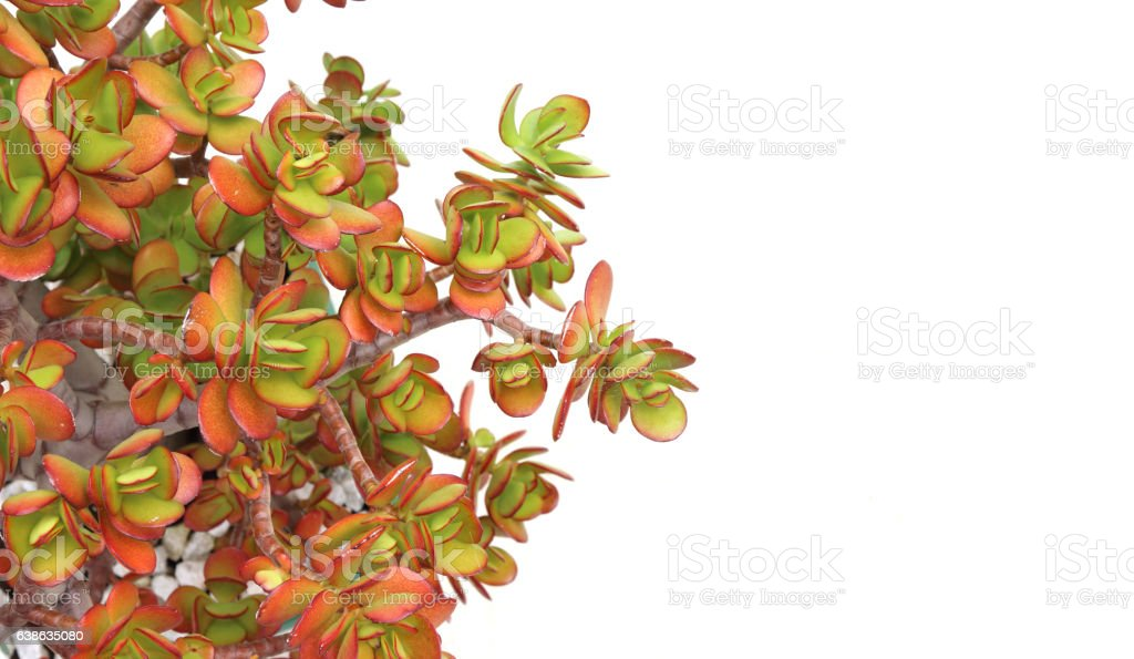 Money tree (crassula plant) in pot over white stock photo