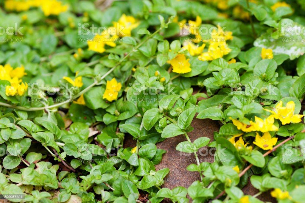 Moneywort, Lysimachia nummularia, Goldilocks plants and yellow flowers lie on sundstone. stock photo