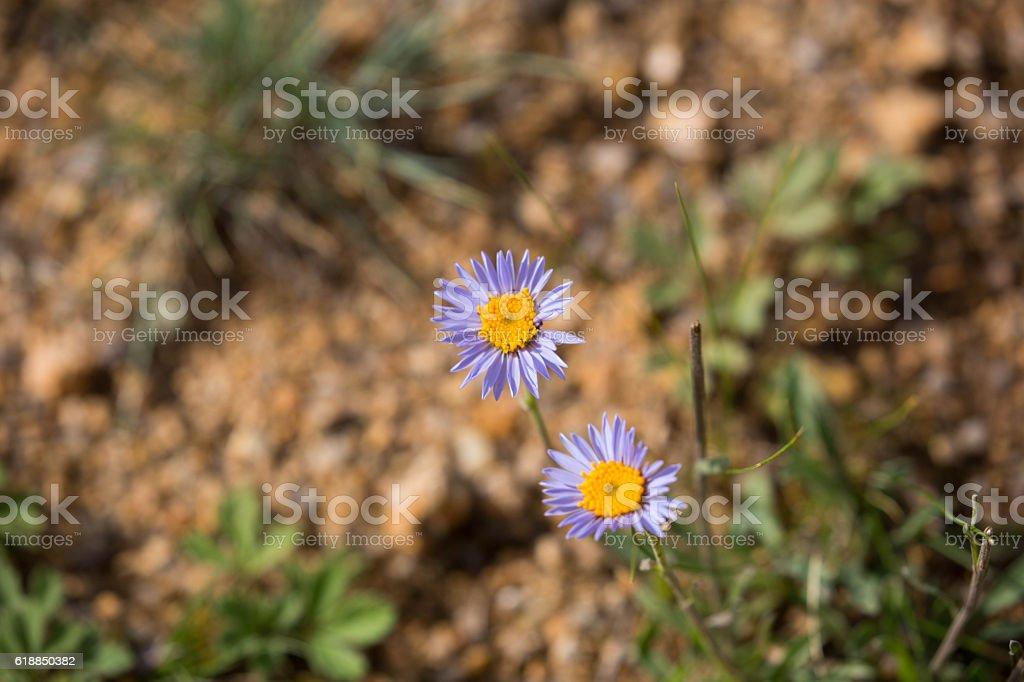 Mongolia: Aster Flower stock photo