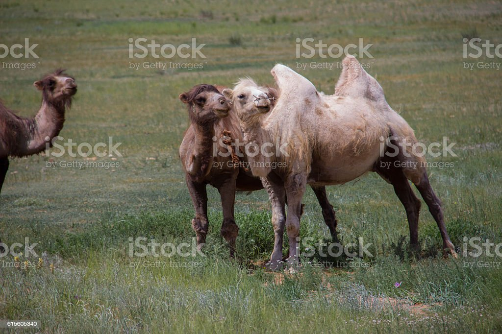 Mongolia: Bactrian Camels in the Middle Gobi stock photo