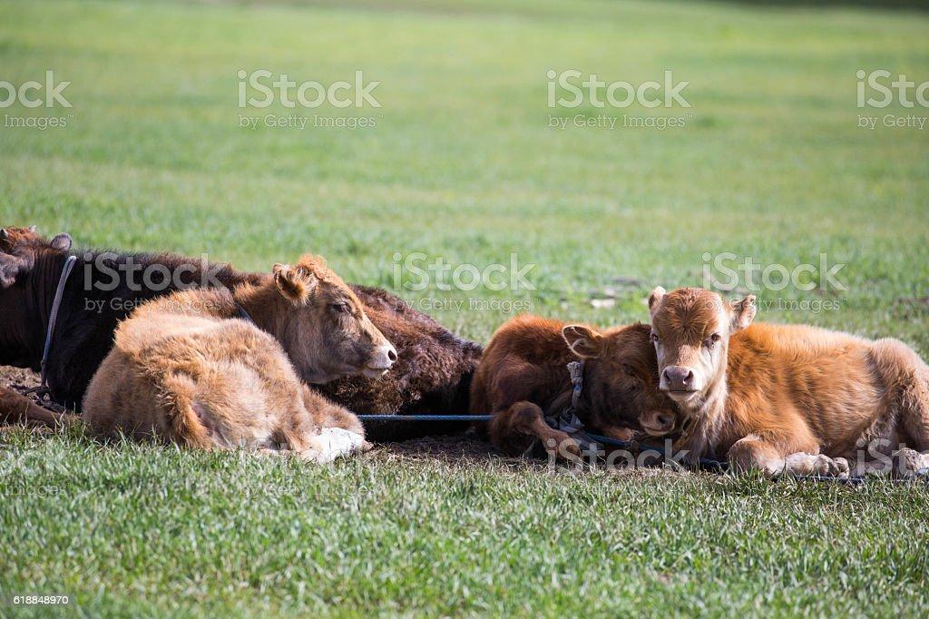 Mongolia: Calves on the Steppes stock photo