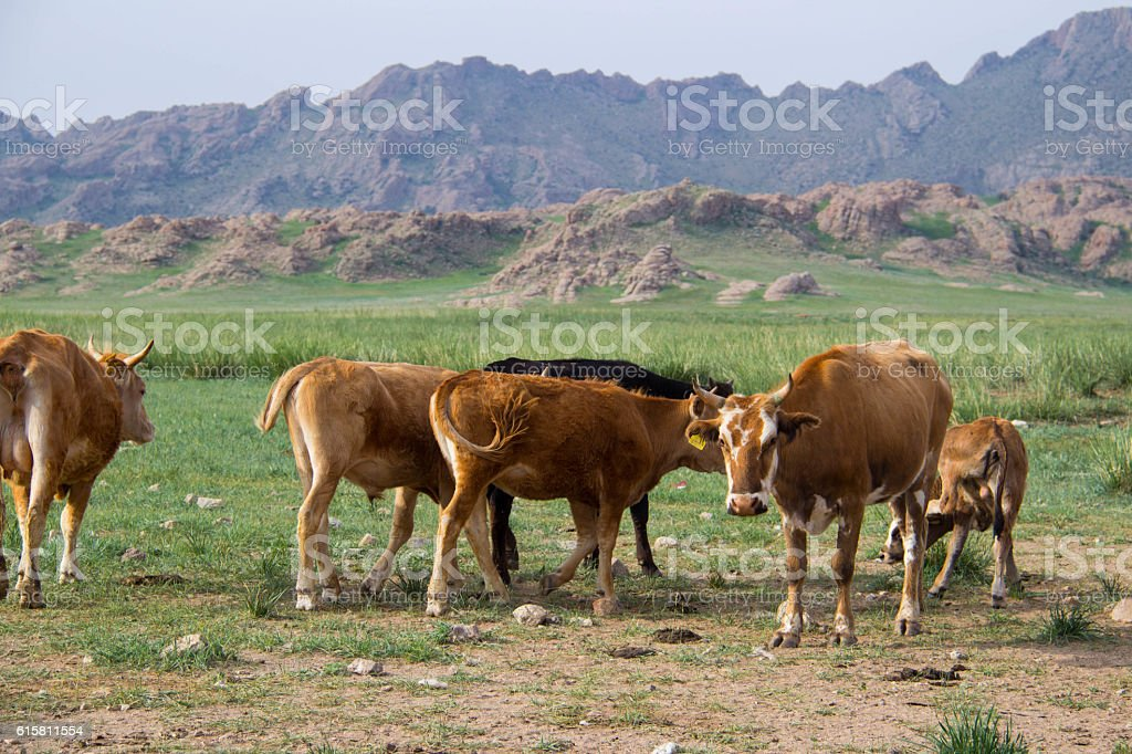 Mongolia: Cattle in the Middle Gobi stock photo