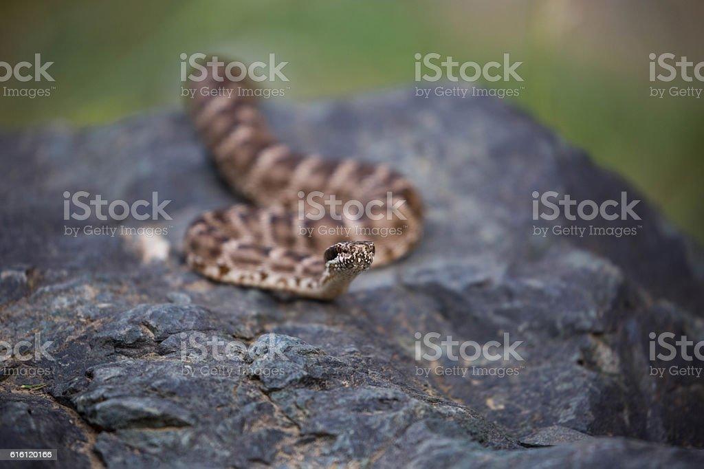 Mongolia: Central Asian Pit-Viper stock photo