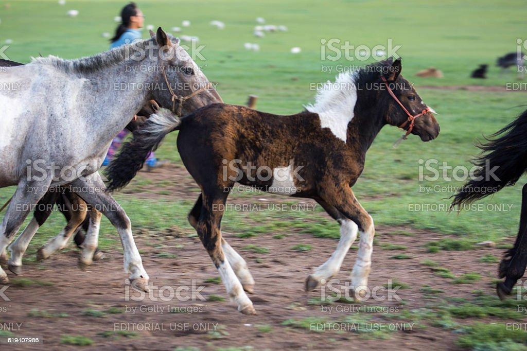 Mongolia: Foal stock photo