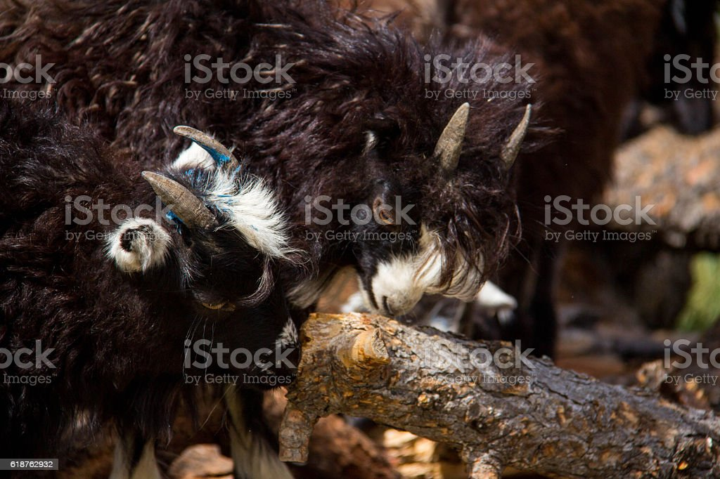 Mongolia: Goats on the Steppe stock photo